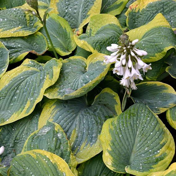 Hosta Olive Bailey Langdon 1 Bare Root Size 1