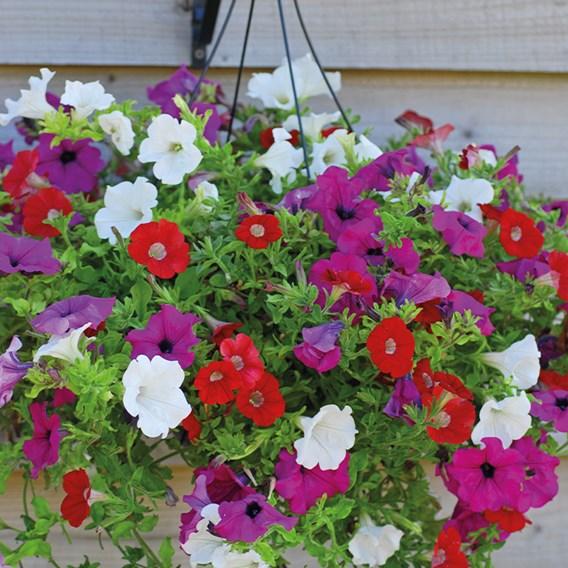 Petunia Surfinia Collection Pre-Planted Baskets