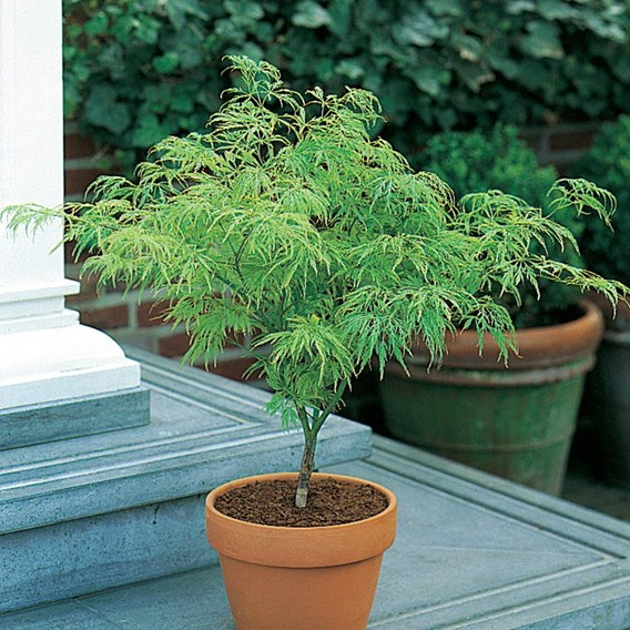 Acer palmatum Garnet 1/4 Std 50/60cm - 15 litre
