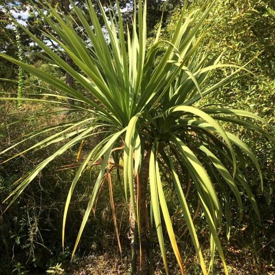 Cordyline australis - 9 Litre Pot