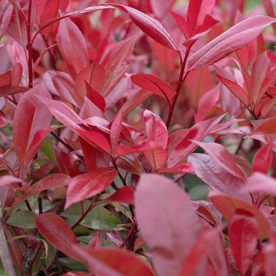 Photinia fraseri Plant - Red Robin - 10 litre