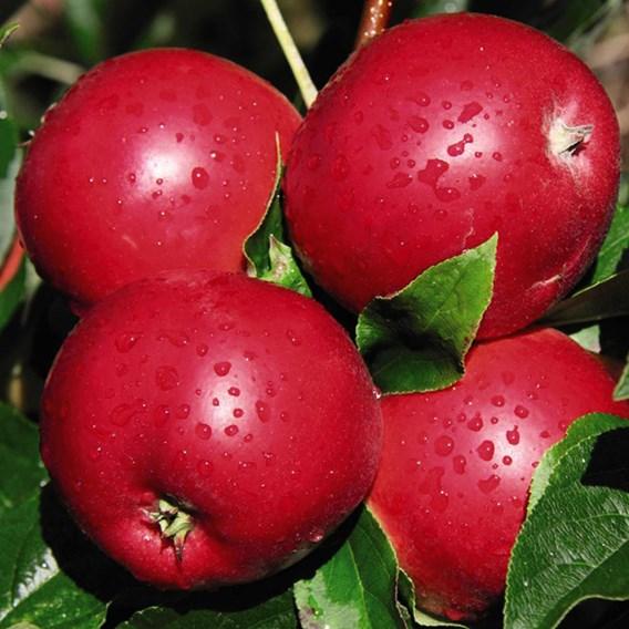 Apple (Malus) Reverend W. Wilks (MM106) 12L Pot x