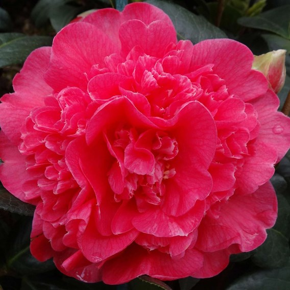 Camellia Hyb. Anticipation 1.5 Litre Pot x 1