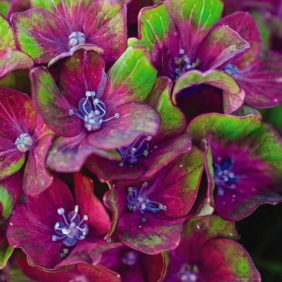 Hydrangea Glam Rock
