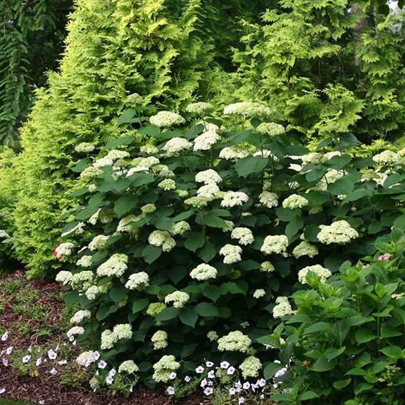 Hydrangea arborescens 'Lime Rickey®' Proven Winners® 3 Litre Pot x 1