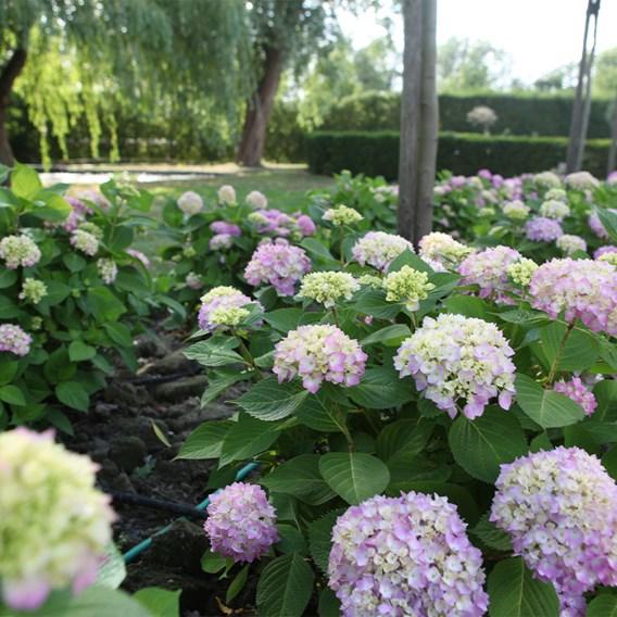 Hydrangea macrophylla Endless Summer® THE ORIGINAL 5 Litre Pot x 1