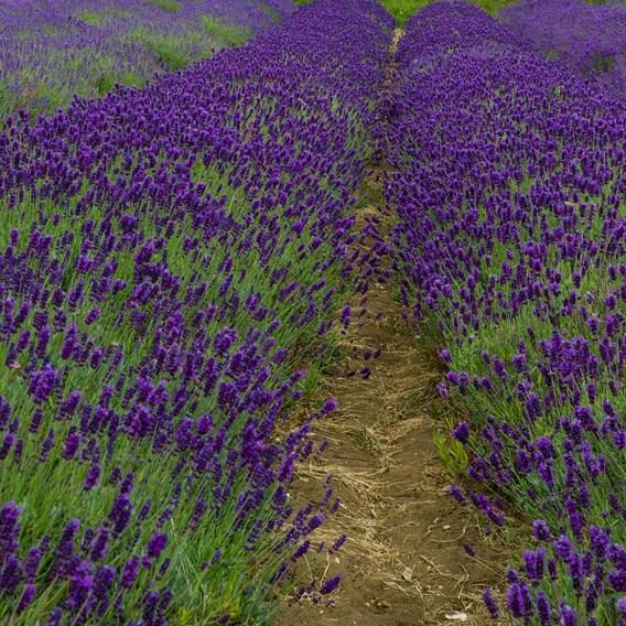 Lavender Angustifolia Imperial Gem 1.3 Litre Pot x 1
