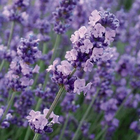 Lavender Angustifolia Melissa Lilac  2 Litre Pot x 1