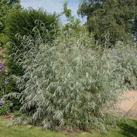 Salix Exigua 15cm Pot x 1