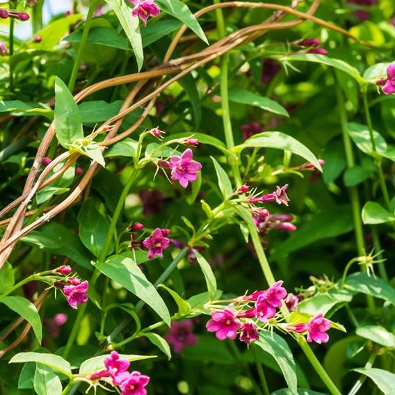 Jasmine Beesianum - 3 Litre Pot