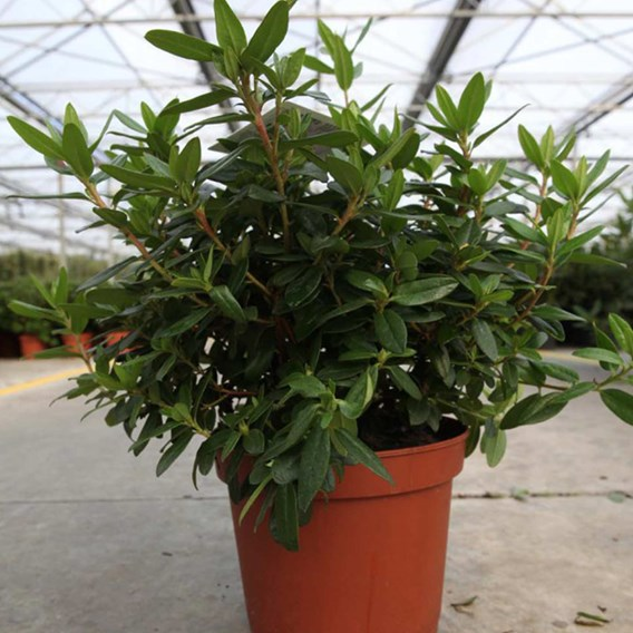 Rhododendron Gristede - 2 Litre Pot