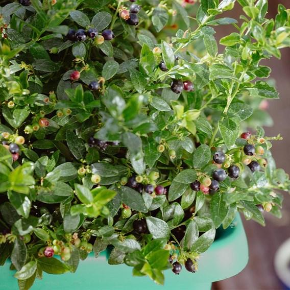 Blueberry (Vaccinium) Berry Bux 10.5cm Pot x 1