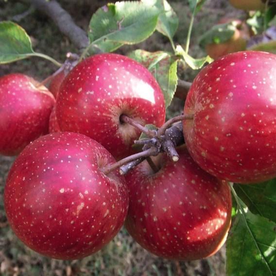 Apple (Malus) Little Pax (M26) 12L Pot x 1