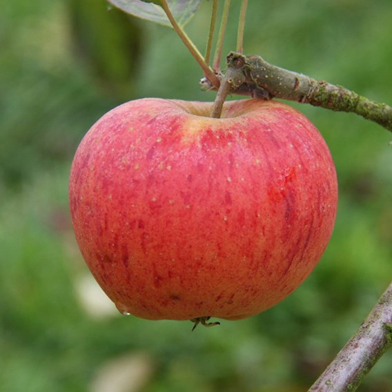 Apple (Malus) Paradice Gold (MM106) 12L Pot x 1