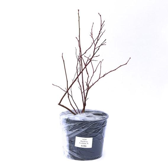 Blueberry (Vaccinium) Earliblue