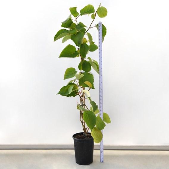 Kiwi (Actinidia Arguta) Jenny (Self Fertile) 2 Litre Pot x 1