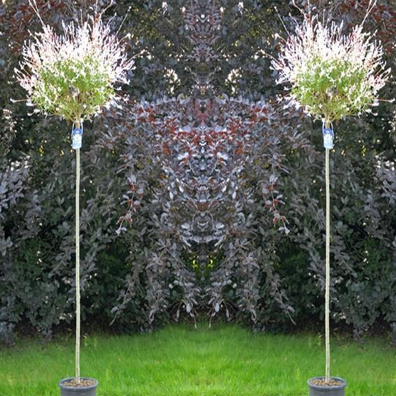 Salix Integra Hakuro-Nishiki (Standard) 3 Litre Pot x 1