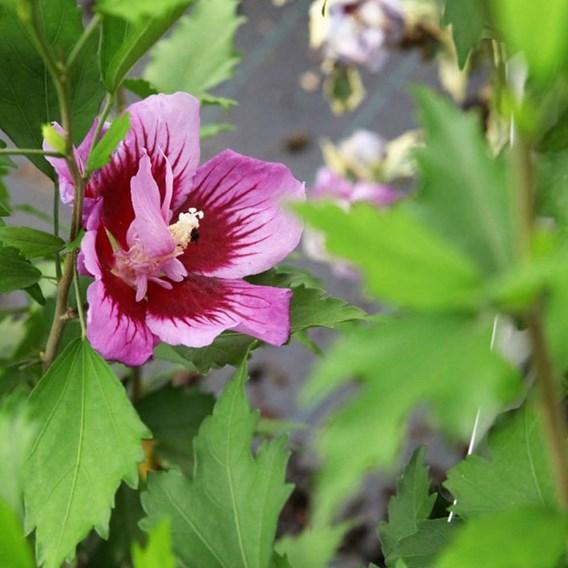 Hibiscus Purple Pillar 13cm Pot x 1