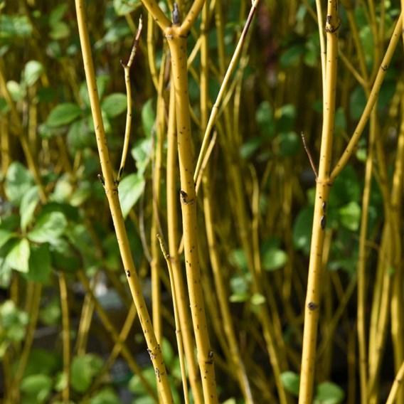 Cornus Sericea Flaviramea 10 Litre Pot x 2 Inc: