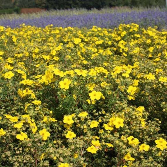 Potentilla fruticosa Plant - Medicine Wheel Mountain