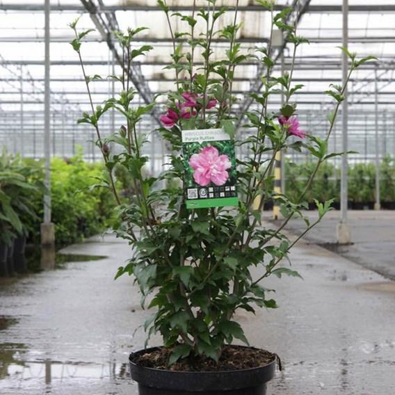 Hibiscus Purple Ruffles
