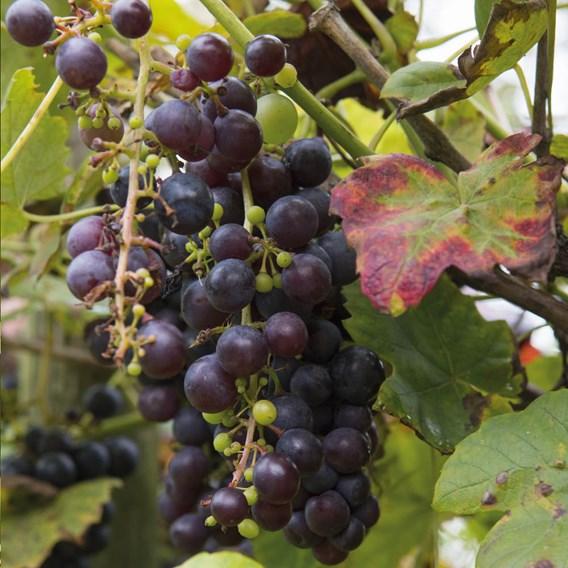 Grape Vine - Boskoop Glory