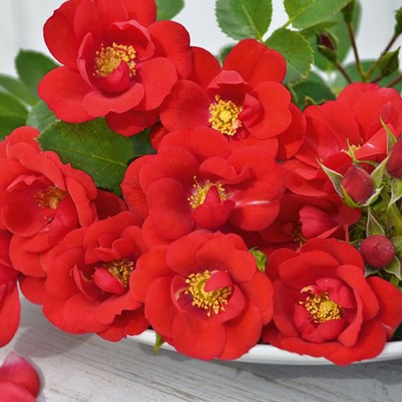 Rose (Patio) Lots of Kisses 3 Litre Pot x 1