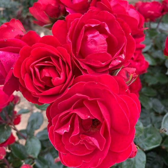 Rose (Bush) Precious Ruby 3 Litre Pot x 1