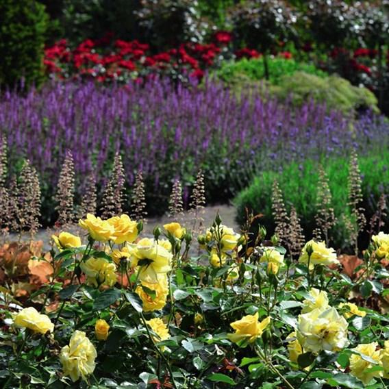 Rose (Bush) Precious Gold 3 Litre Pot x 1