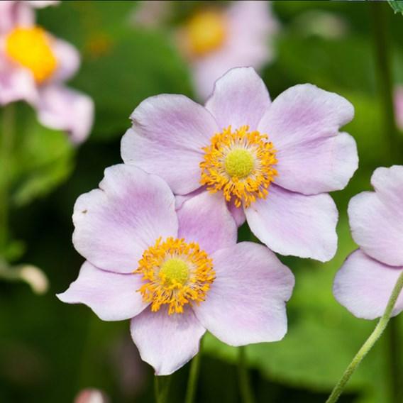 Anemone x Hybrida Robustissima - Plants