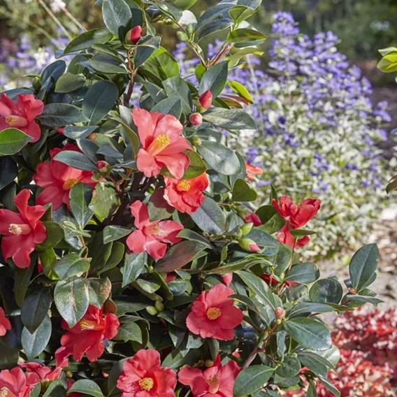 Camellia 1001 Summer Nights Jasmine
