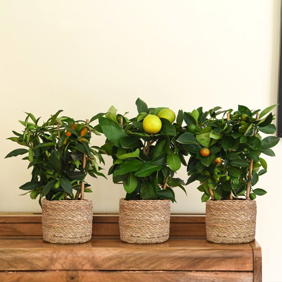 Citrus Trio on Trellis 15cm Pot x 3 Inc:
