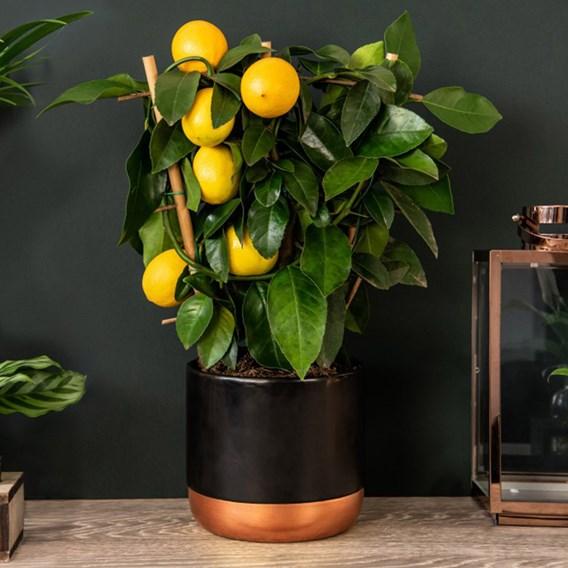 Citrus Meyer Lemon on Trellis 15cm Pot x 2 Inc: