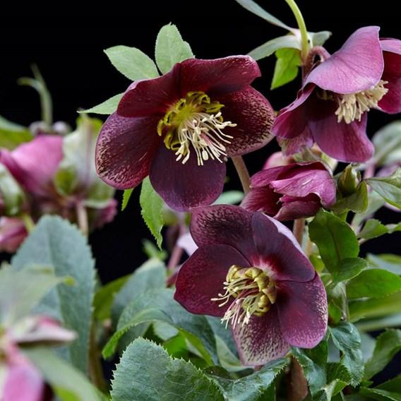 Helleborus orientalis Plant -  Hello Ruby