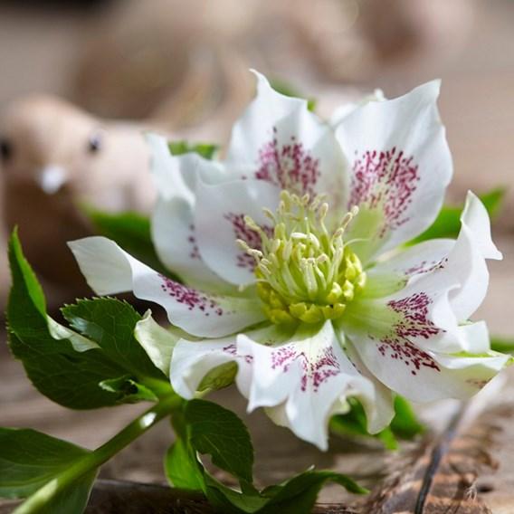 Helleborus orientalis Plant Hello Pearl
