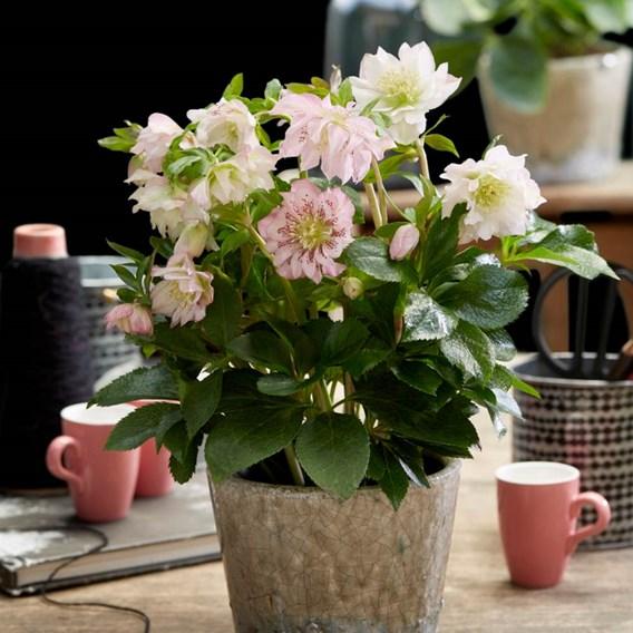 Helleborus orientalis Double Ellen Pink