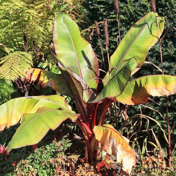 Hardy Banana Musa Basjoo
