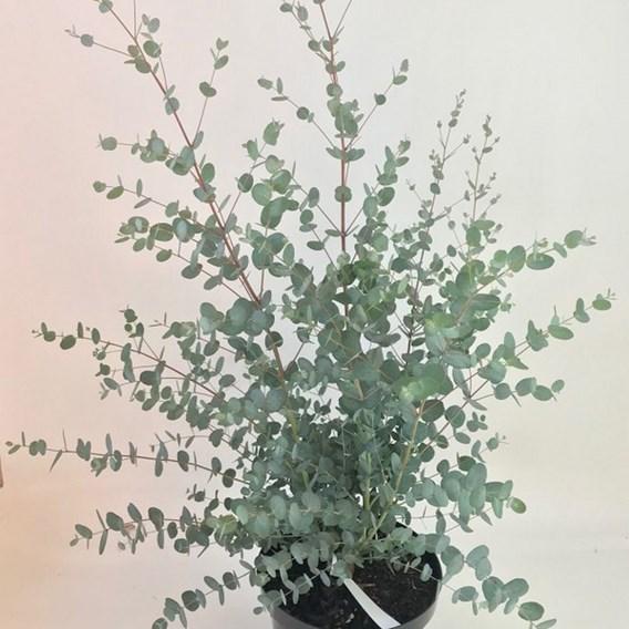 Eucalyptus gunni Silverana