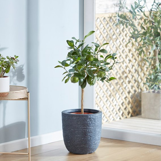 Lime (Citrus) Fruiting Bush 14cm Pot x 1