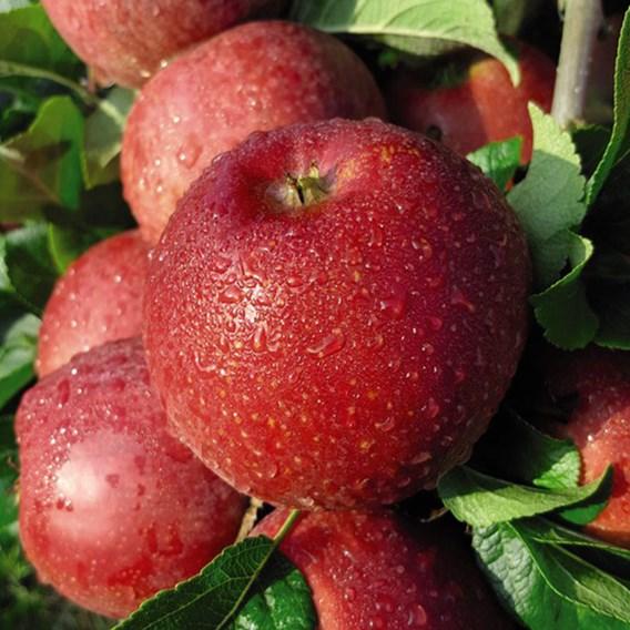 Apple (Malus) Red Windsor (M27) 11.5L Pot x 1