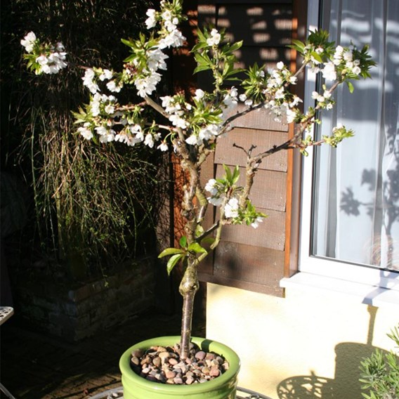 Cherry (Prunus) Stella Patio Standard (Colt) 5L Pot x 1
