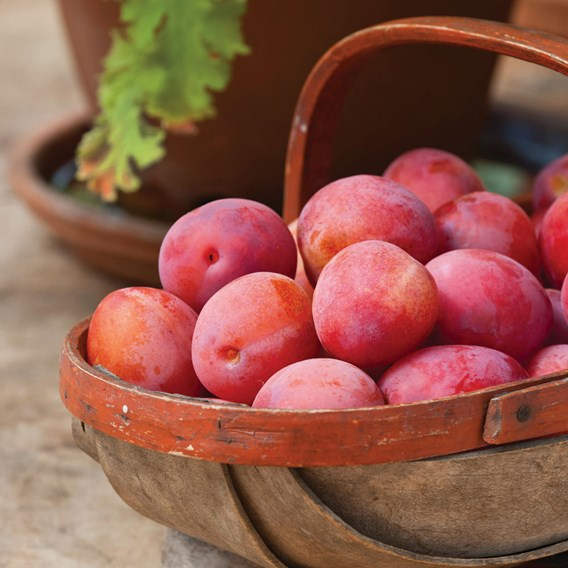 Plum (Prunus) Victoria Patio Standard (St Julien) 5L Pot x 1