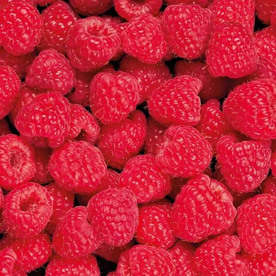 Raspberry (Rubus idaeus) Glen Prosen 3L Pot x 1