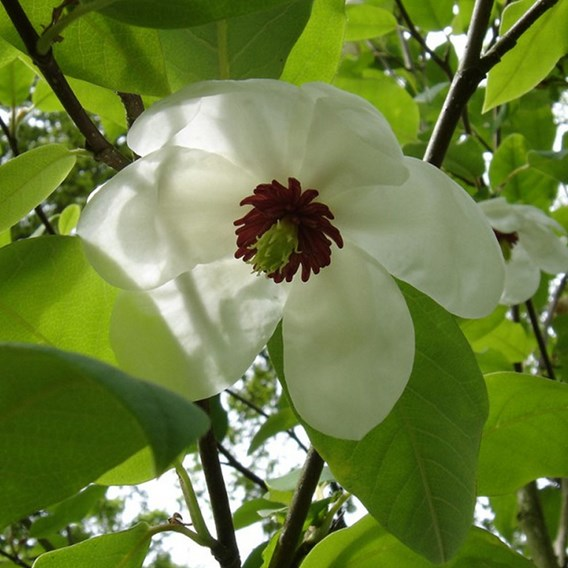Magnolia wilsonii 5 Litre Pot x 1