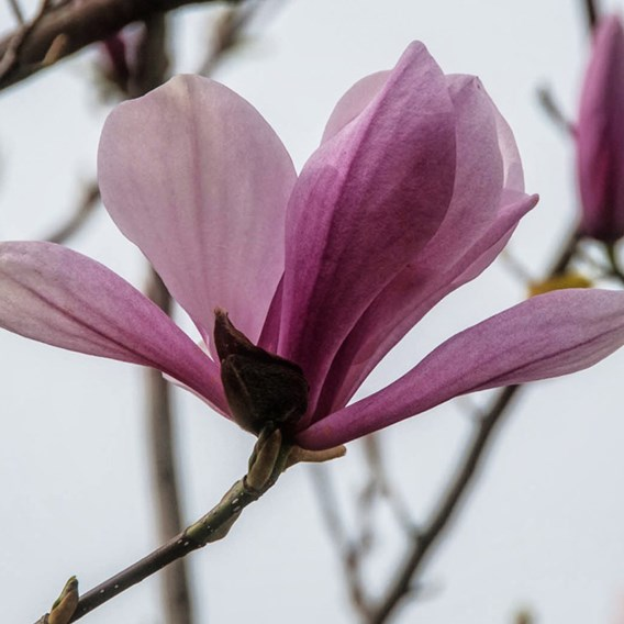 Magnolia Galaxy 5 Litre Pot x 1