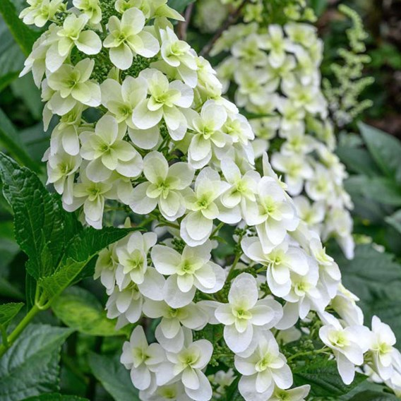 Hydrangea Quercifolia Snowflake 12cm Pot x 1