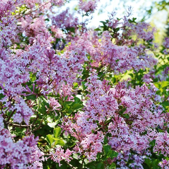 Syringa Bloomerang Duo 13cm Pot x 2 Inc:
