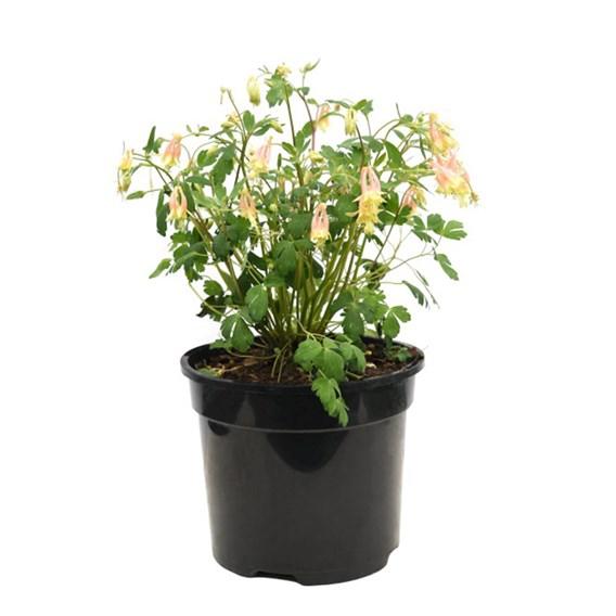 Aquilegia Rhubarb & Custard 2 Litre Pot x 1