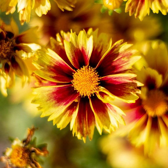 Coreopsis Lil Bang Enchanted Eve 1 Litre Pot x 1