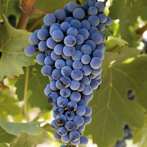 Grape (Vitis) Cabernet Sauvignon 3L Pot x 1